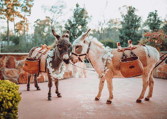 beer burros, beer donkeys, donkeys, animals in weddings, unique, cocktail hour